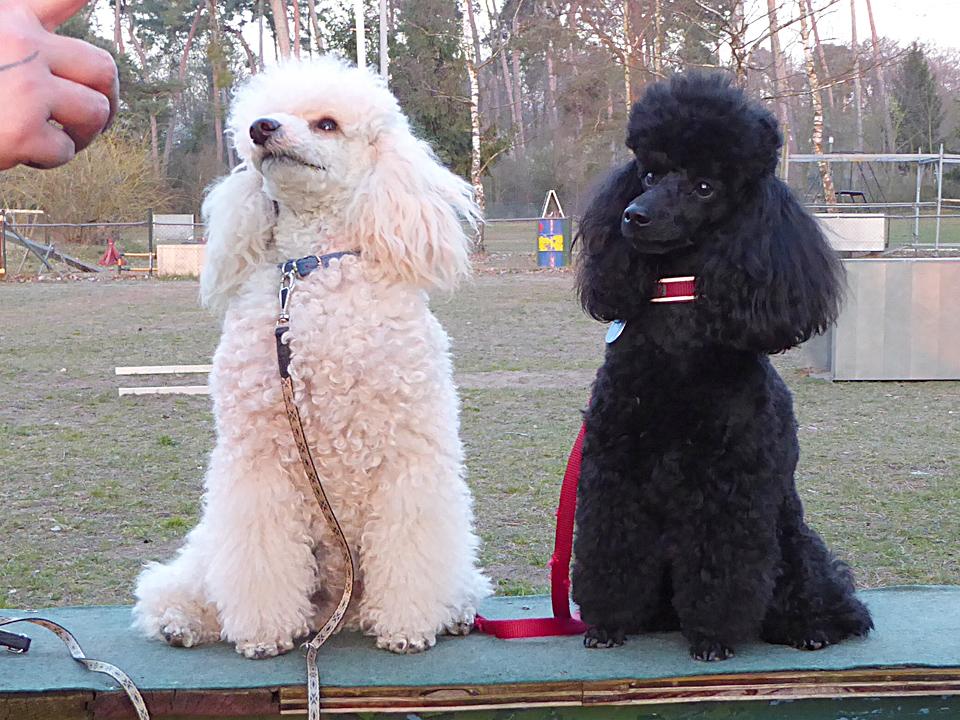 """Neu in unserer Trainingsgruppe sind die beiden jungen Zwergpudelrüden aus Pfungstadt """"Kimba"""" und """"Henri"""" - wir freuen uns über die Verstärkung!"""